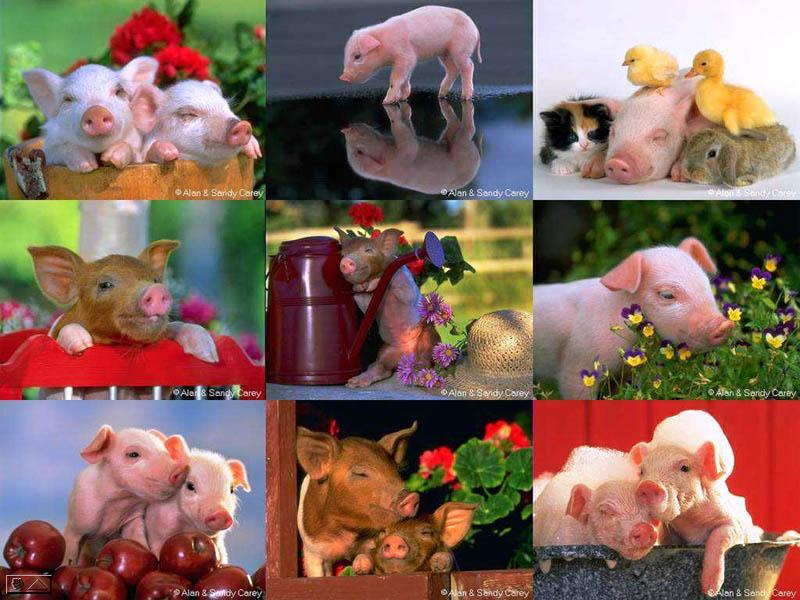 Piggies, piglets, schweinchen, schweine, ferkel (Alan and Sandy Carey)