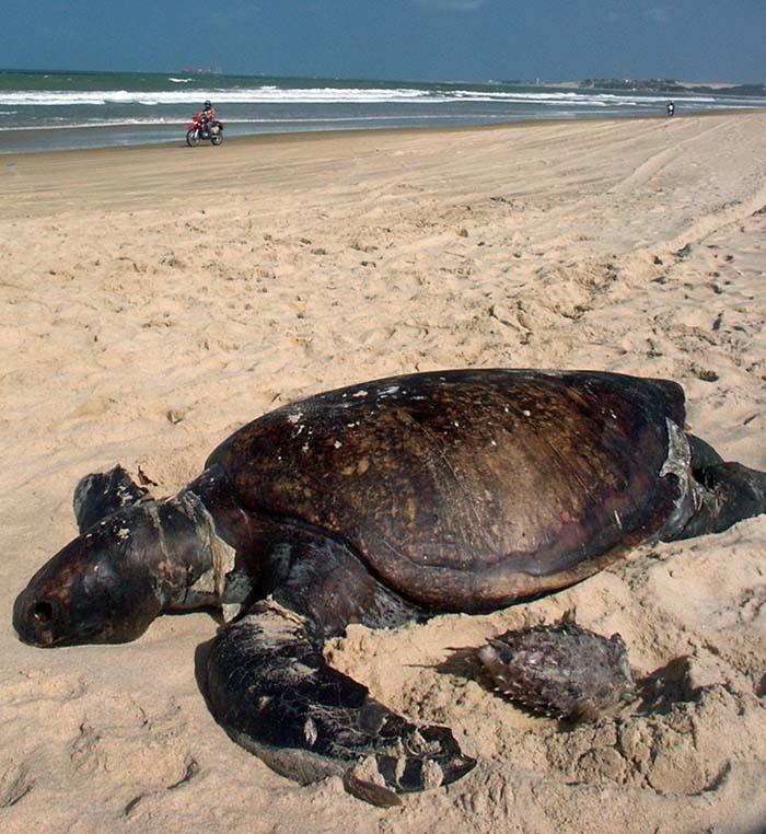 Giant turtle dead.