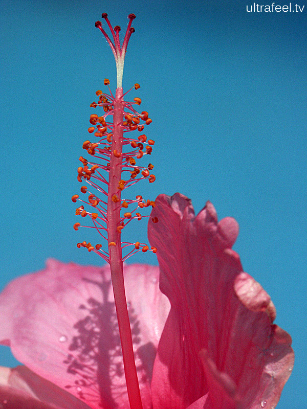 Hibiscus blossom.