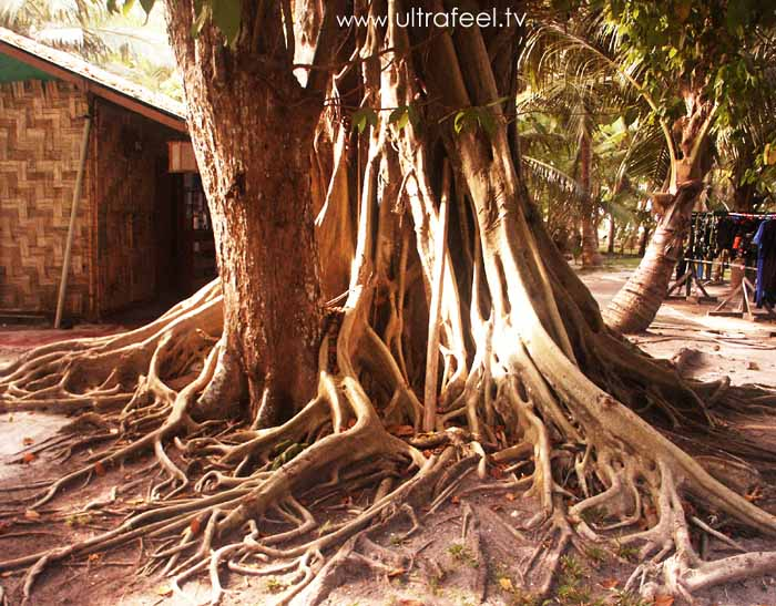Complex fig tree at Havelock, Andaman Island