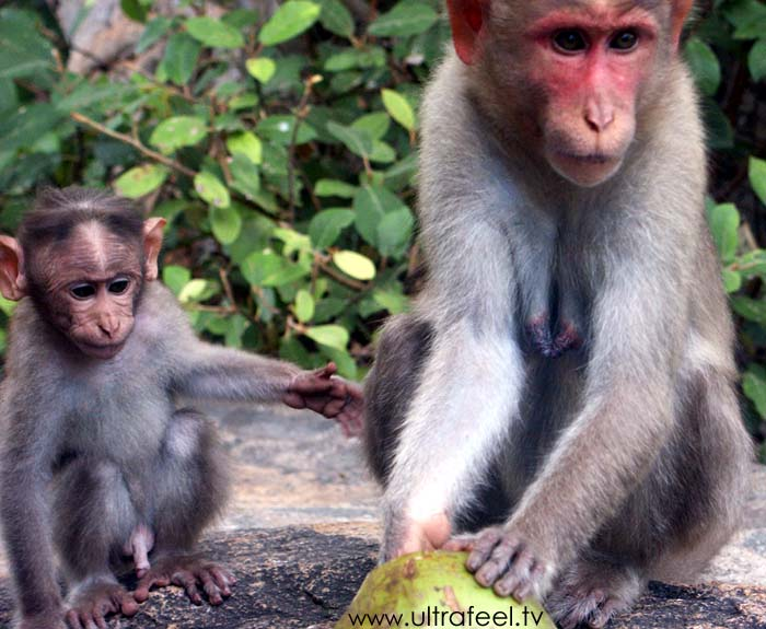 Monkeys (Mother and child) eating Coconut, around Arunachala Mountain, India